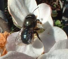 Mason bee on flower
